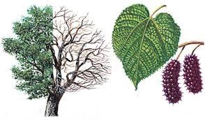 arbol morera, hojas y frutos