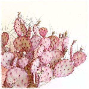 cactus_rosa_fondo_blanco